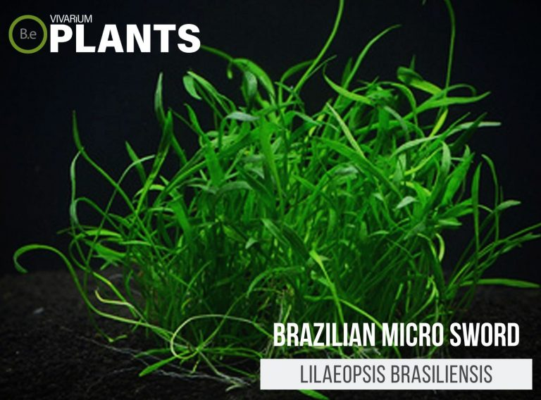 Brazilian Micro Sword (Lilaeopsis Brasiliensis)