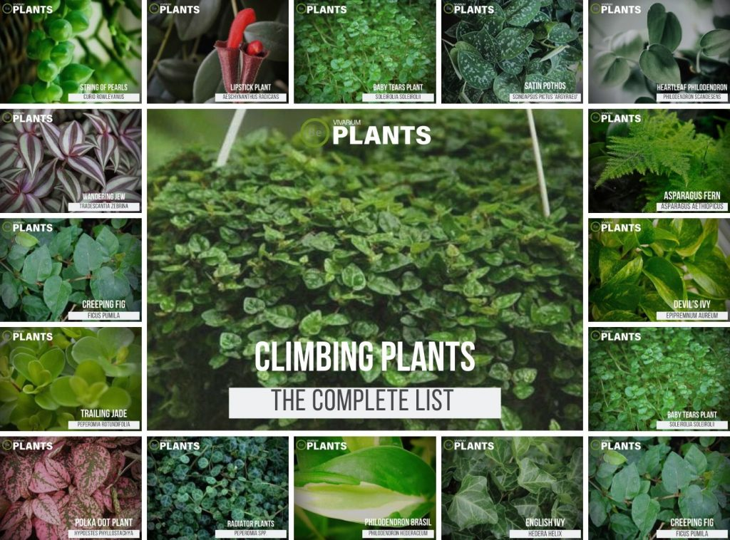 Climbing & Trailing Plant List (Vine Plants)