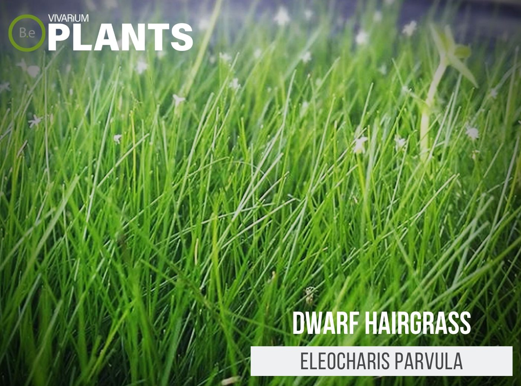 Dwarf Hairgrass (Eleocharis Parvula)