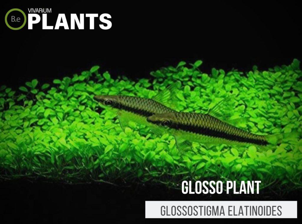 Glosso Plant (Glossostigma Elatinoides)