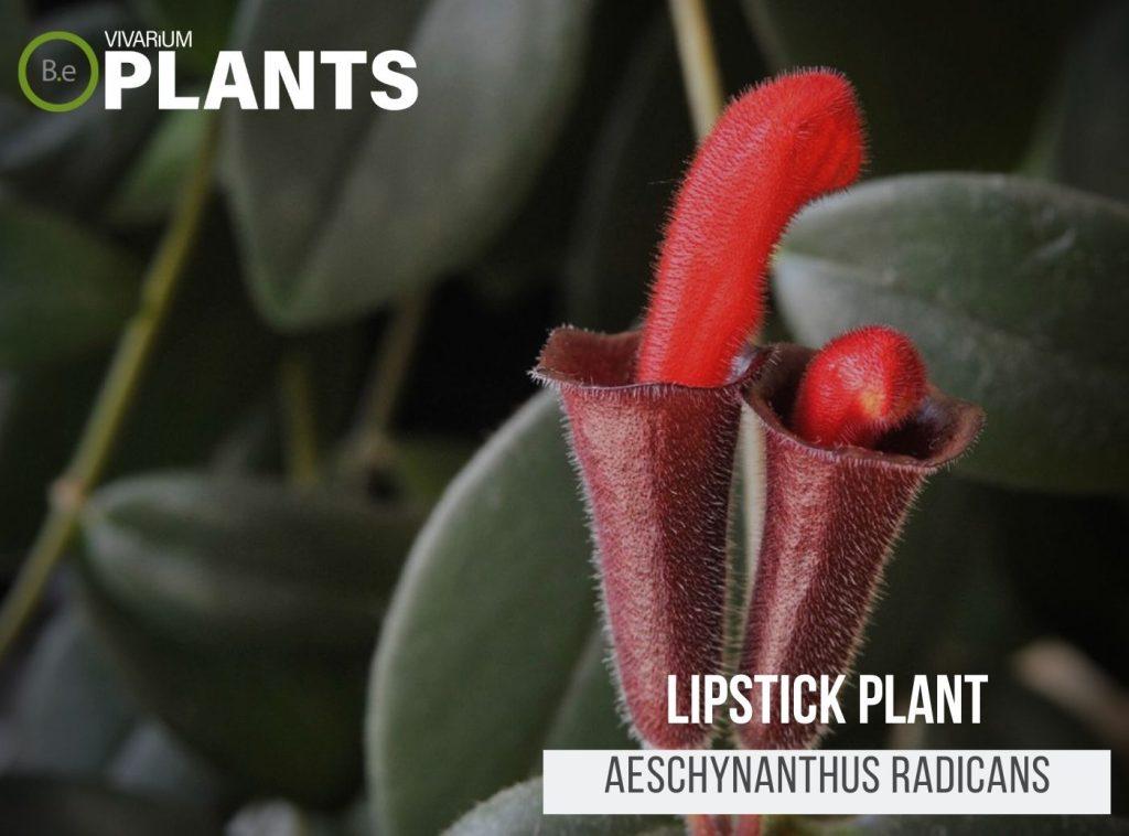 Lipstick Plant (Aeschynanthus Radicans)