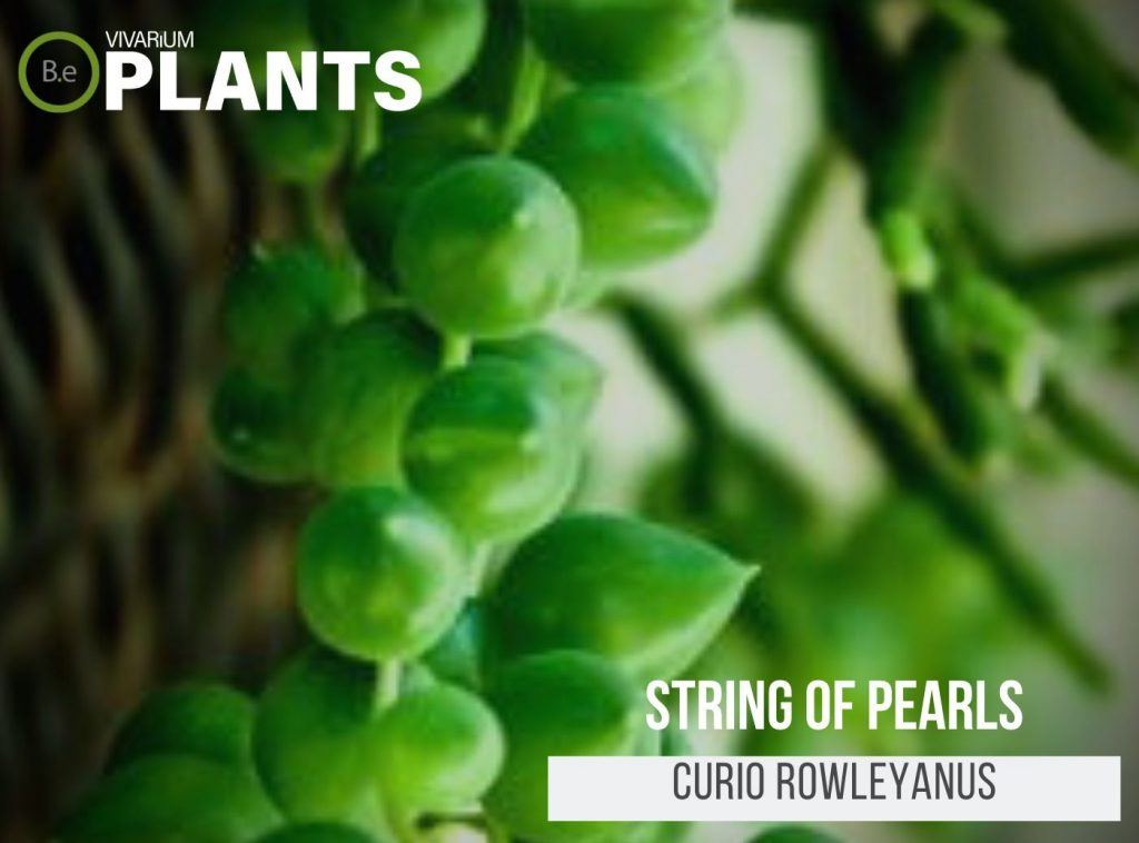 String Of Pearls (Curio Rowleyanus)