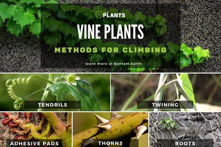 Vine Plant Climbing Methods