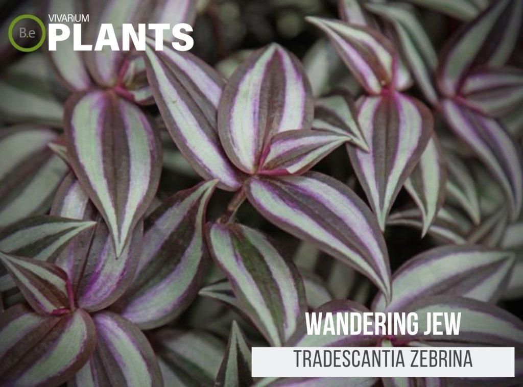 Wandering Jew (Tradescantia Zebrina)