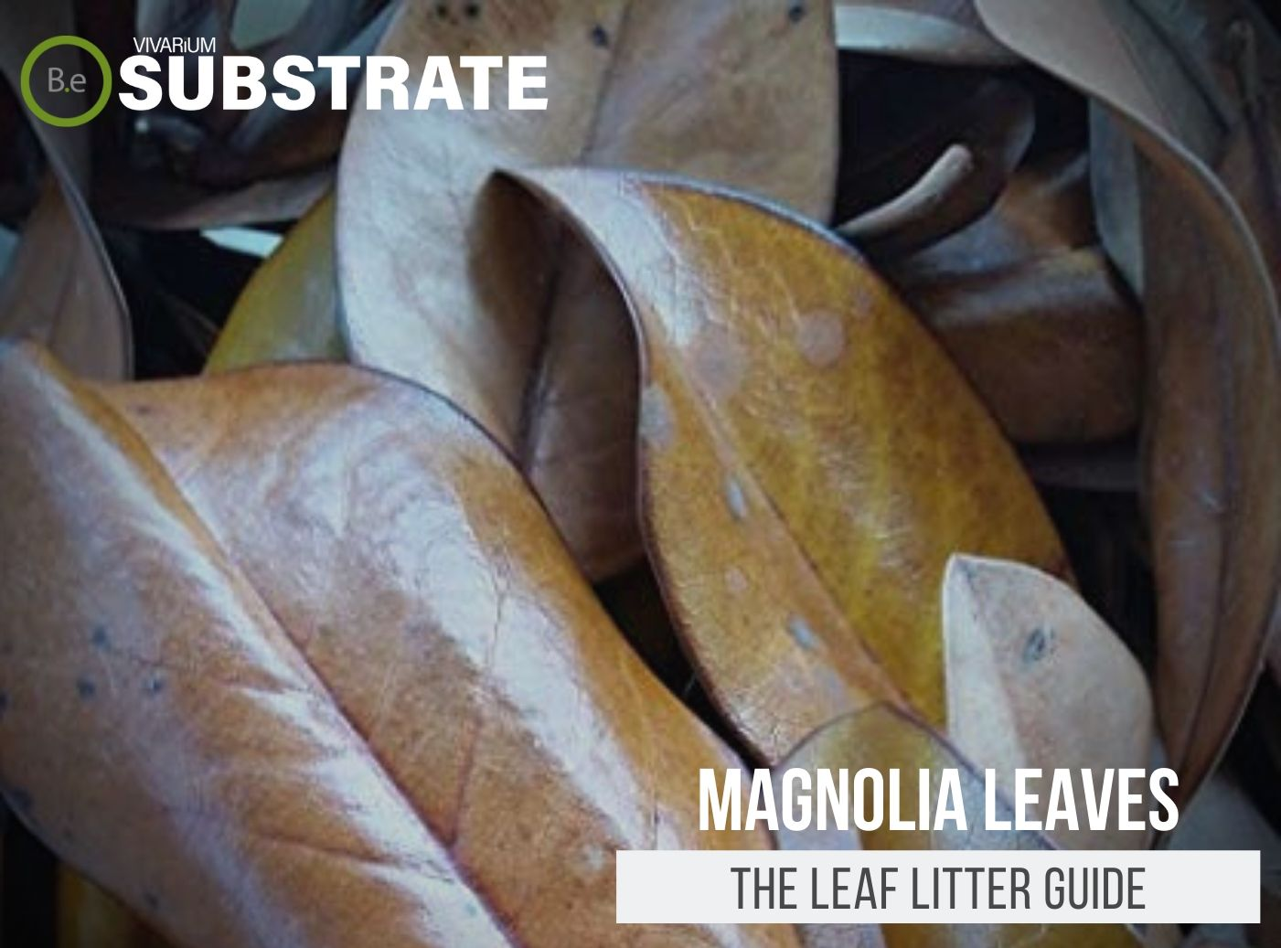 Magnolia Leaves | The Leaf Litter Guide