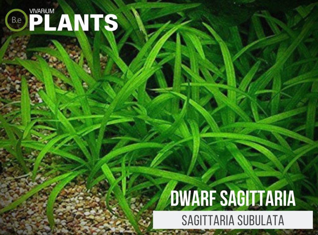 Dwarf Sagittaria (Sagittaria Subulata)
