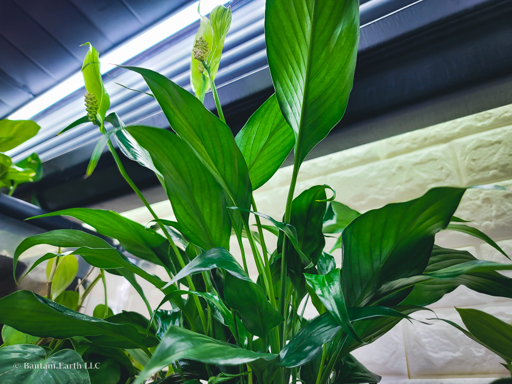 Peace Lilly | Common Houseplants A For Riparium