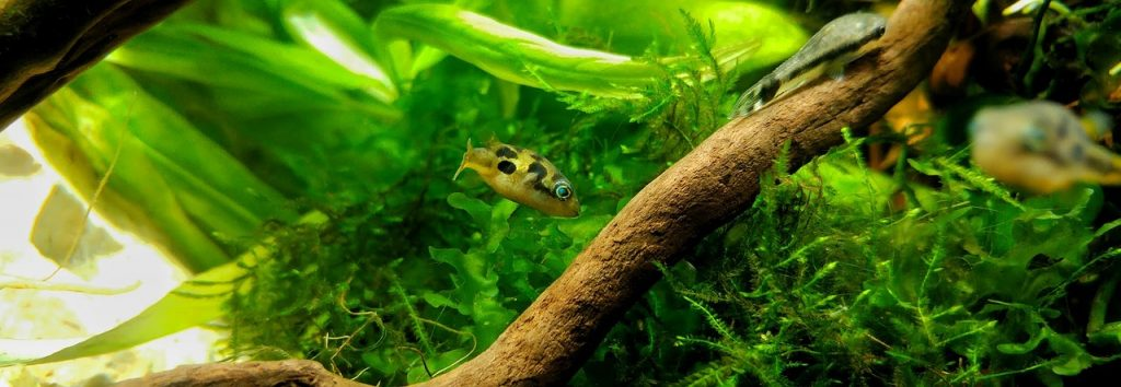 Puffer Fish With Moss