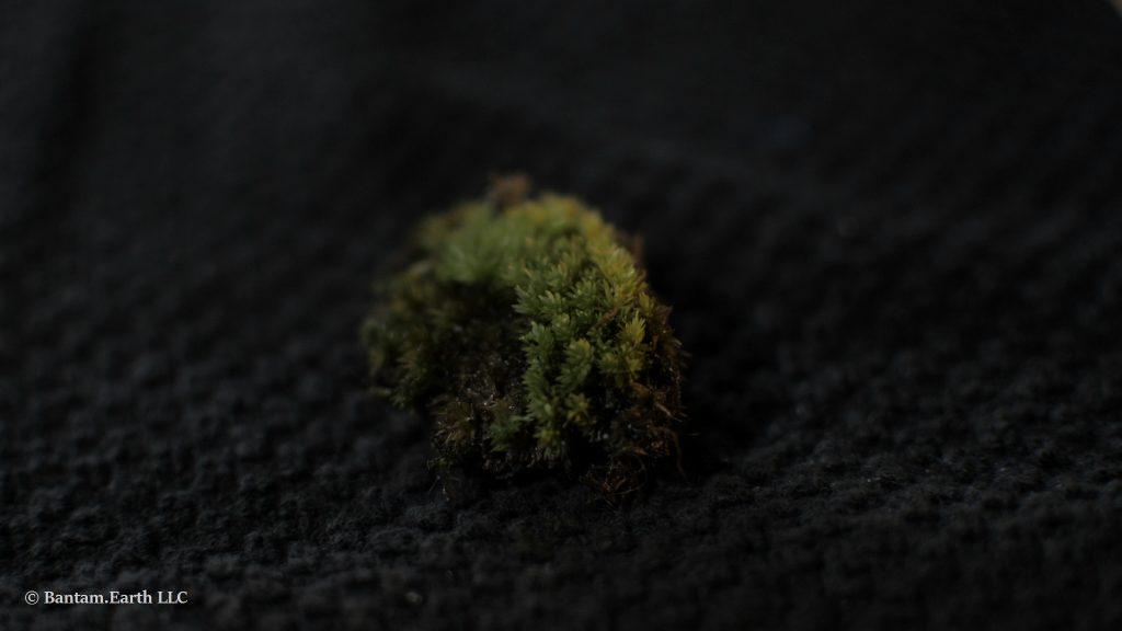 Acrocarpous Moss