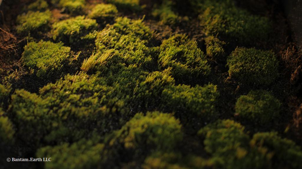 Propagated Barbula Moss